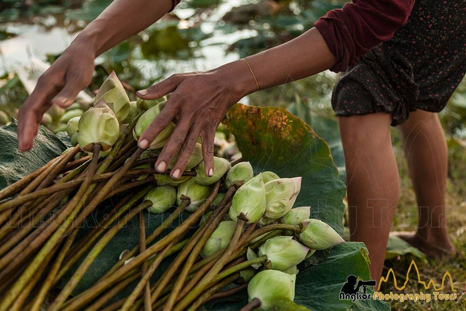 lotus flowers harvesting photo tour