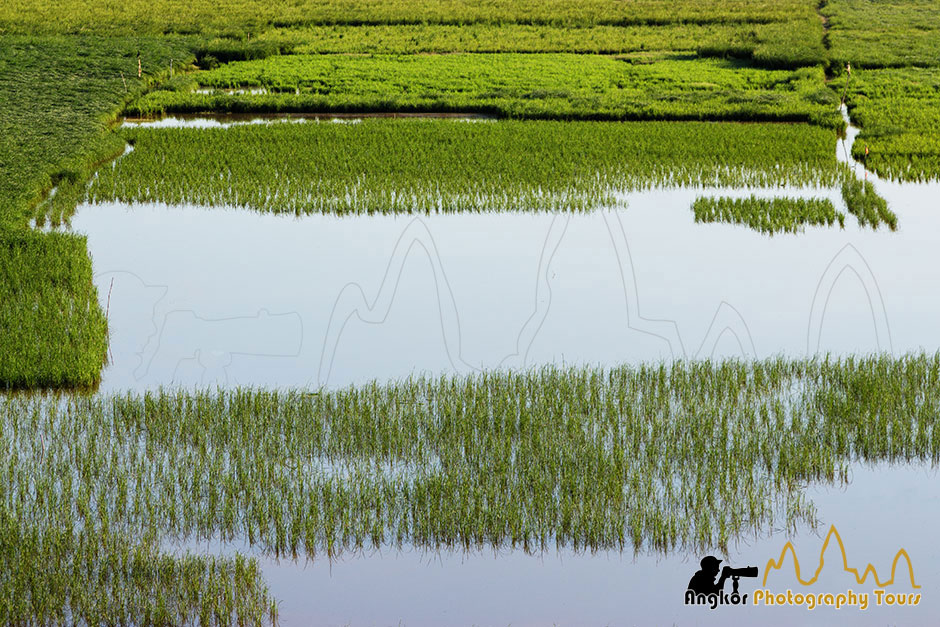 flooded paddy fields siem reap photography tours