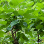Mulberry leaves cultivation