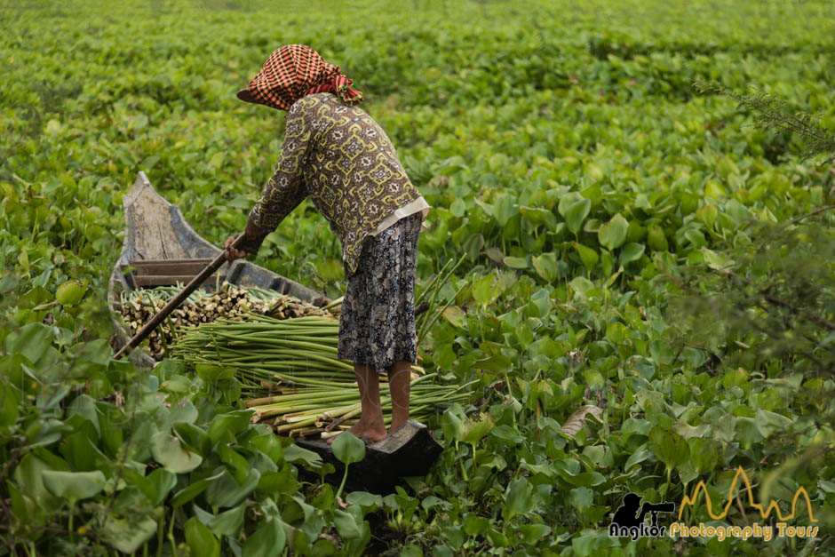 water hyacinth harvesting